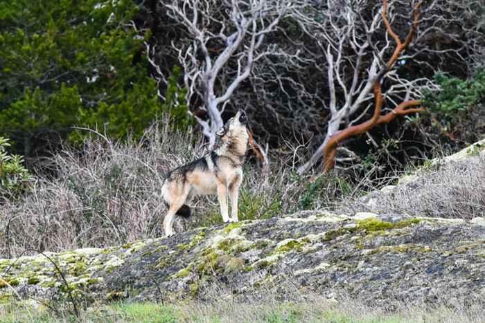 lobo solitario Staqeya en al Isla de Vancouver aullando