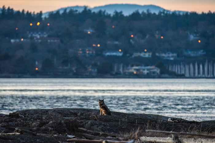 lobo solitario Staqeya en al Isla de Vancouver
