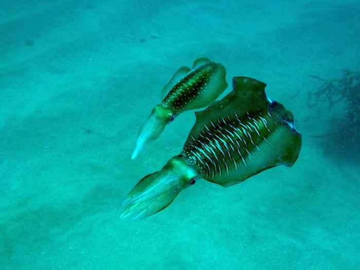 pareja de calamares ovalados (Sepioteuthis lessoniana)