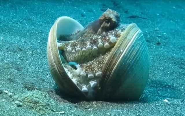 pulpo se protege con conchas