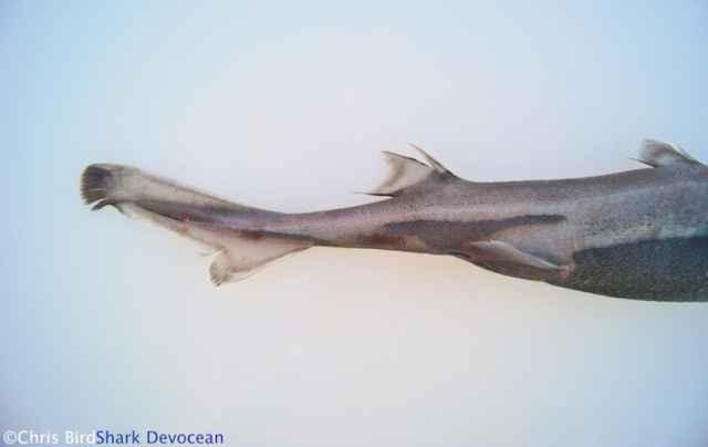 sables de luz en los genitales del tiburón linterna