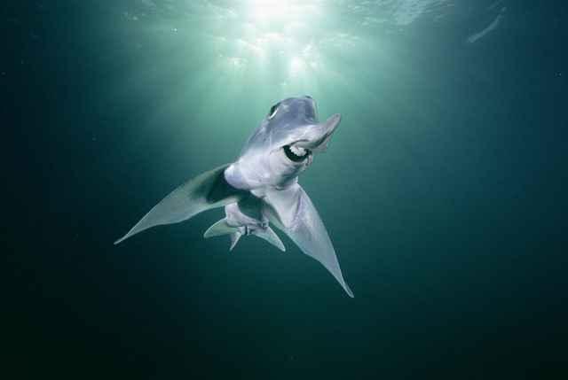 tiburón elefante (Callorhinchus milii)