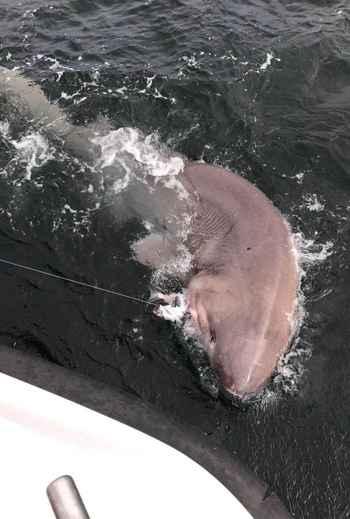 el tiburón más grande de Europa pescado con caña