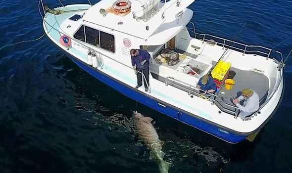 Tiburón más de grande Europa junto al barco