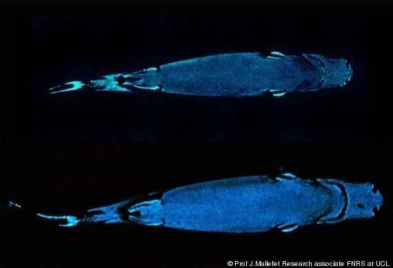 vientre del tiburón linterna vientre de terciopelo