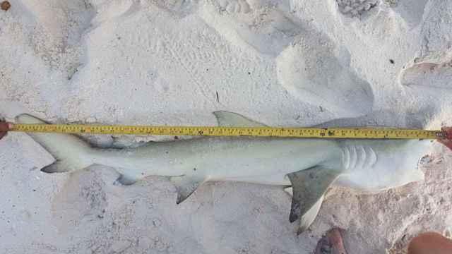 tiburón ahogado con un pez puercocespín