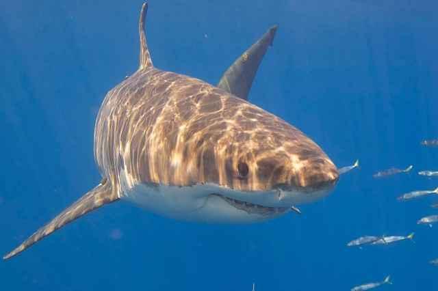 sacrificio de tiburones