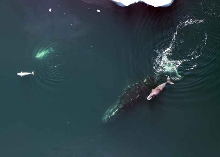 ballenas beluga y de Groenlandia en el Ártico