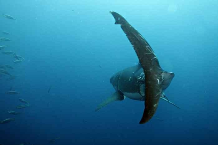 cola de tiburón