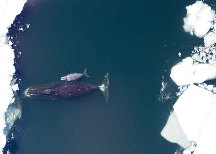 cría y madre de ballena de Groenlandia
