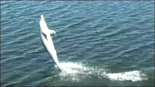 delfín camina con la cola