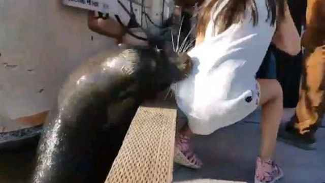 león marino arrastra a una niña al agua