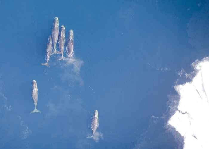 migración de ballenas en el Estrecho de Bering