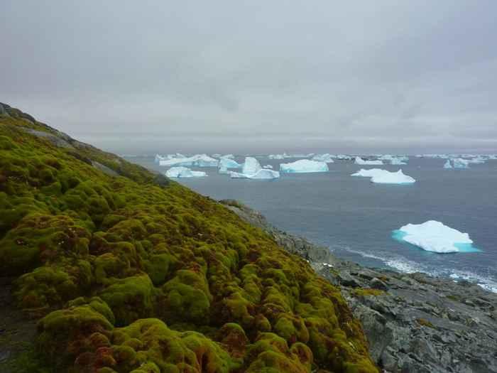 bancos de musgo en la Antártida
