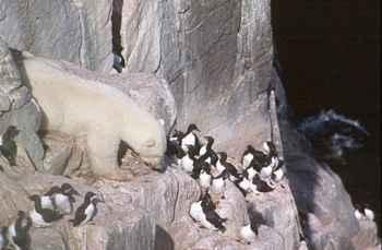 oso polar escala para comer huevos