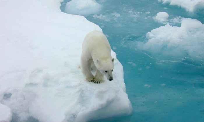 oso polar en el hielo marino