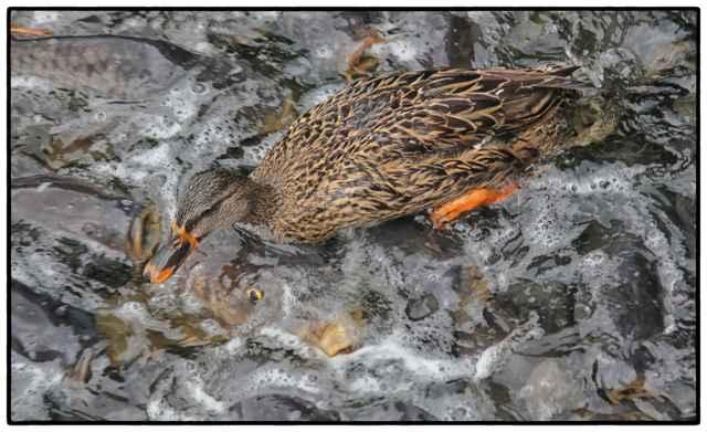 pato camina encima de los peces en el aliviadero de Linesville