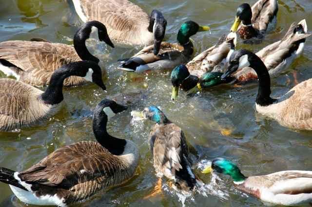 patos en el aliviadero de Linesville