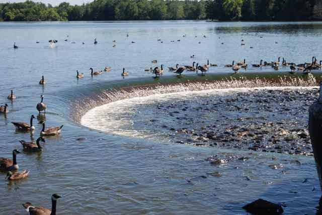 patos y peces en el aliviadero de Linesville