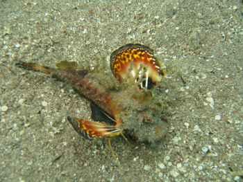 Inimicus filamentosus - pez piedra muletero