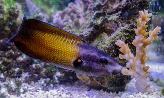 Labropsis australis alimentándose de coral