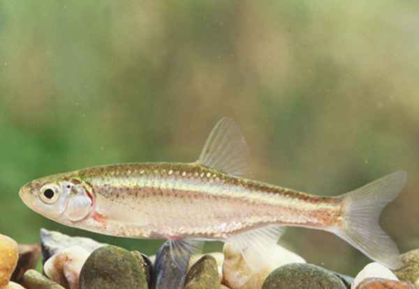 Squalius alburnoides
