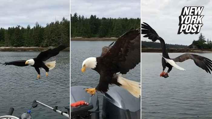 águila calva roba pescado de un barco