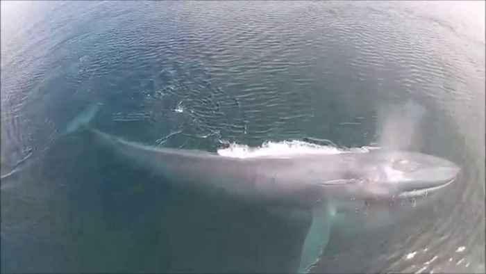 ballena azul alimentándose