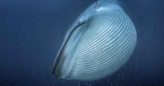 ballena barbada aspirando krill
