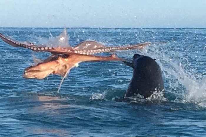 batalla entre un lobo marino y un pulpo