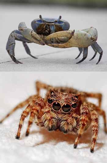 cangrejo evoluciona hasta una araña