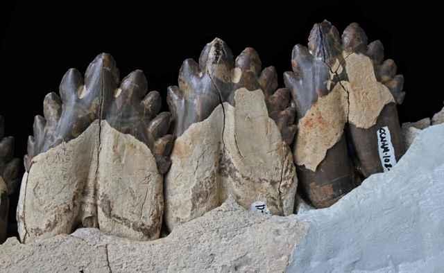 dientes fósiles del Coronodon havensteini
