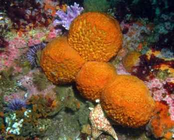 esponja naranja de mar