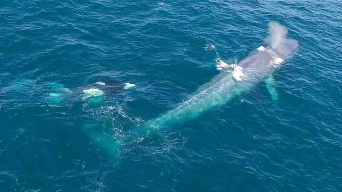 orcas atacan a una ballena azul