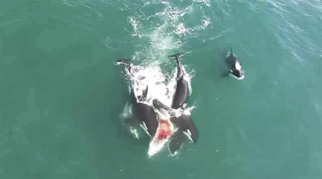 orcas cazan ballena minke