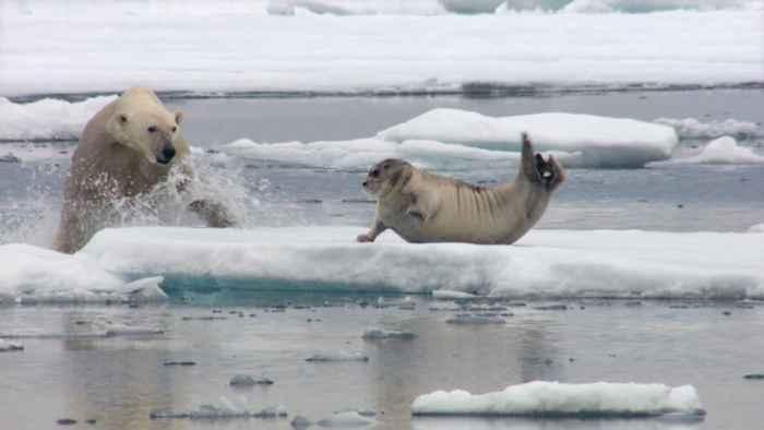 oso polar ataca a un foca
