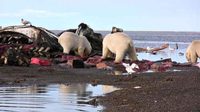 osos polares devoran un cadáver de ballena