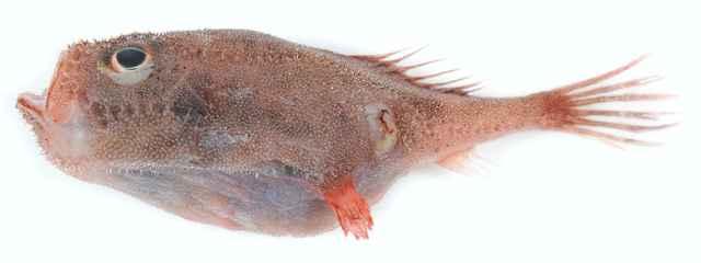 pez ataúd desinflado