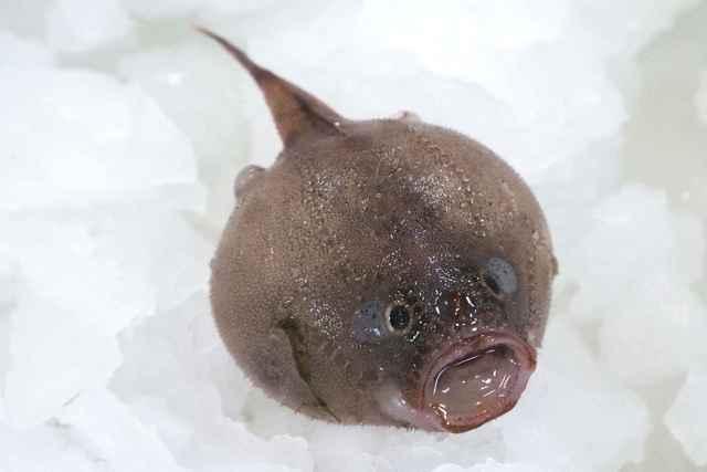 pez ataúd inflado