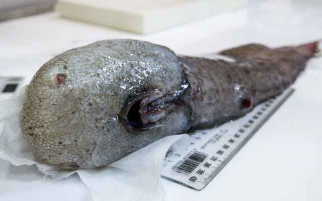 pez sin rostro encontrado en el abismo de Australia