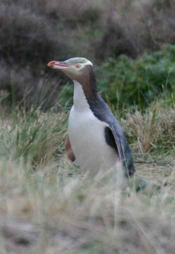 pingüino Megadyptes antipodes