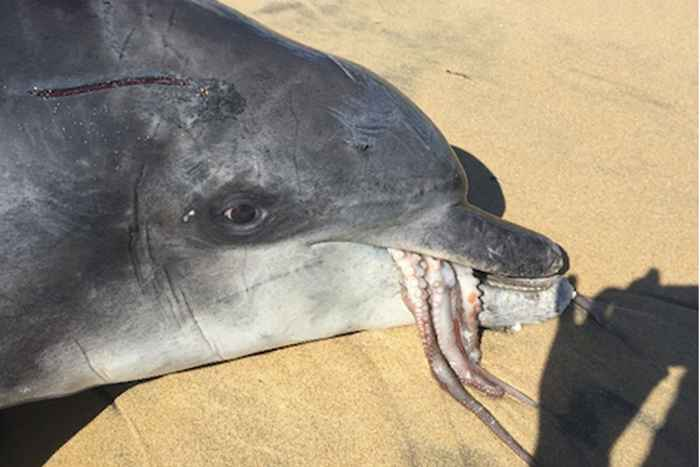 pulpo asfixia a un delfín