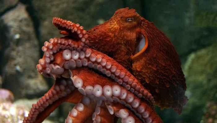 pulpo gigante del Pacífico