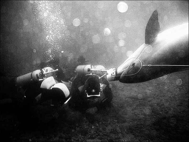rescate de un buzo por un delfín
