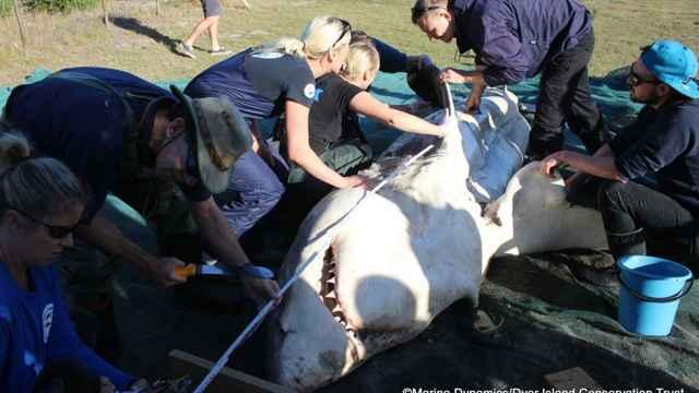tiburón blanco atacado por orcas por el hígado