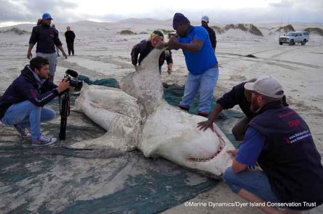 tiburón blanco atacado por orcas