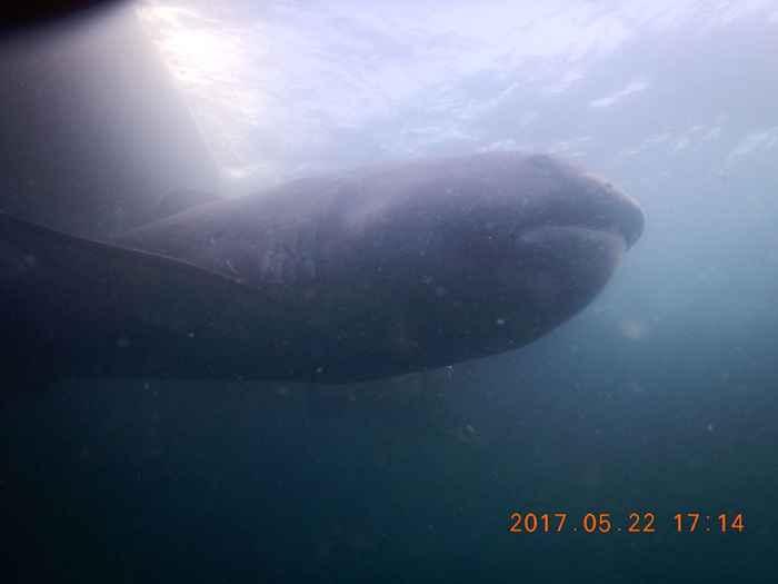 tiburón de boca ancha enredado en Japón