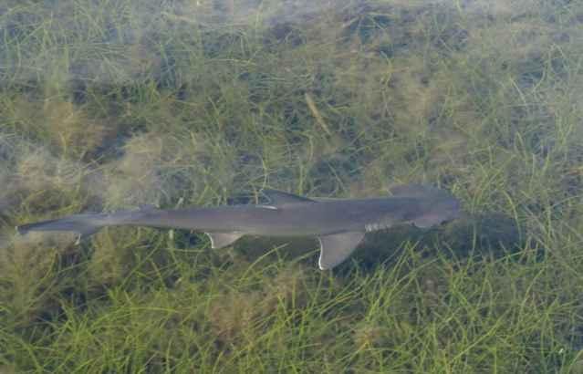 tiburón lanetón (Sphyrna tiburo)