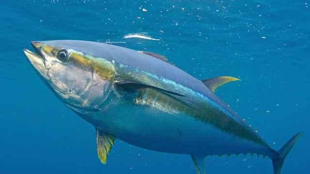 atún de aleta amarilla