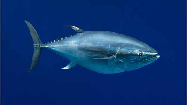 atún de aleta azul